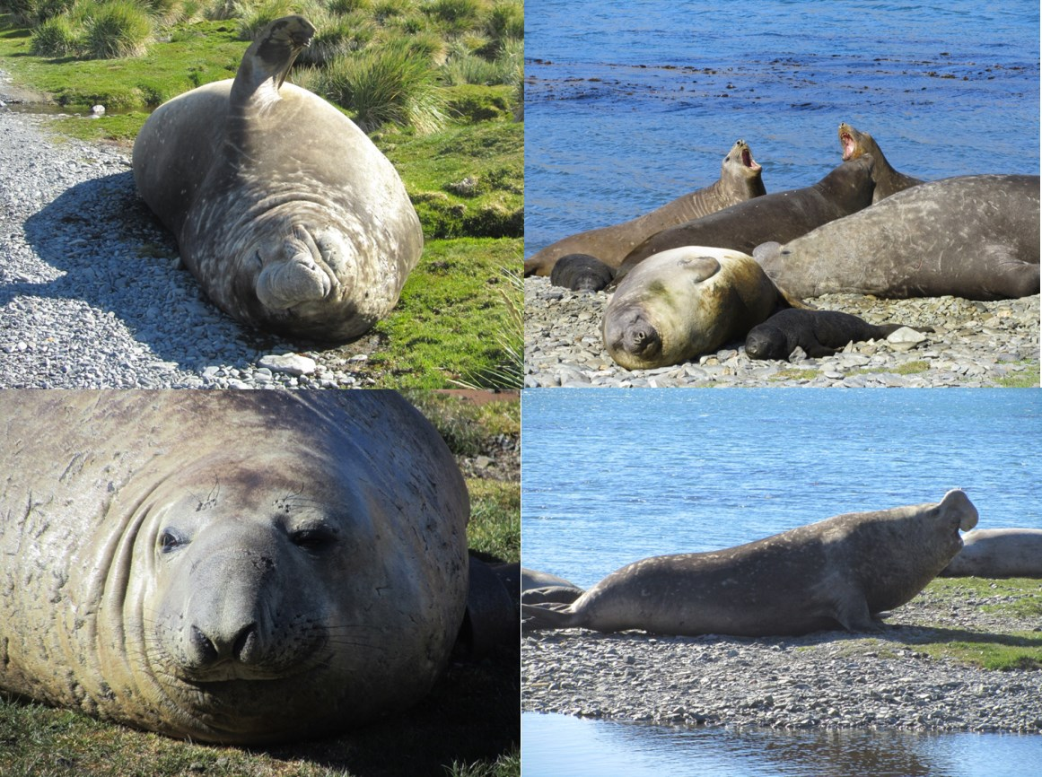 South Georgia is an important breeding ground for Elephant seals.